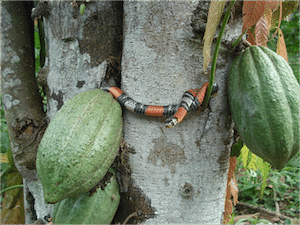 Cacao Snake (2)