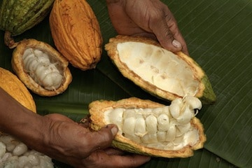 cacao fruit (1)