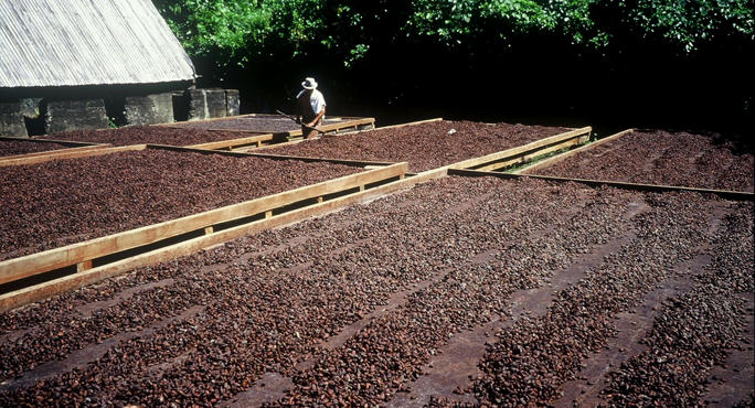 raking_to_dry_cocoa_beans_venezuela_main